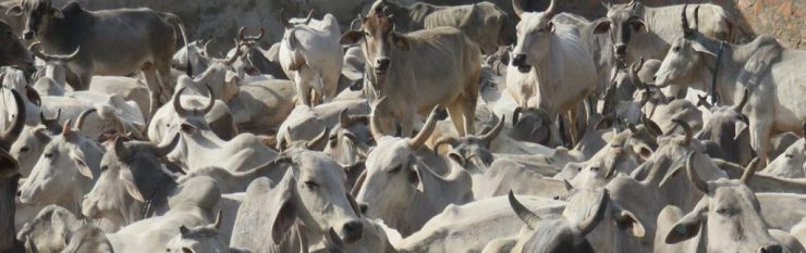 "<span class=""entry-title-primary"">Dairy, Death and Dharma</span> <span class=""entry-subtitle"">The devastation of cow protectionism in India.</span>"